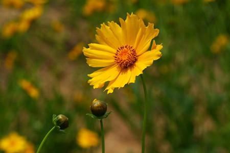 大花金鸡菊怎么播种