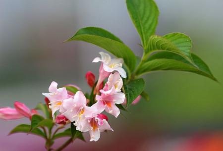 锦带花的压条繁殖