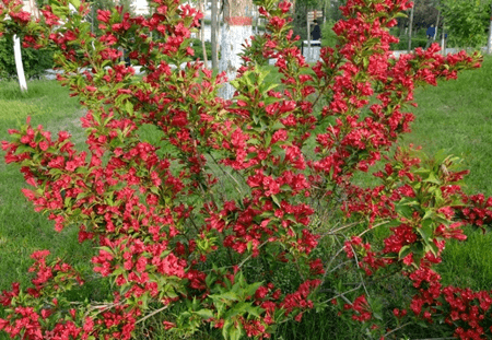 锦带花的分株繁殖