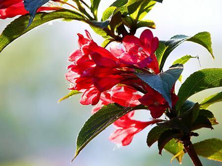 红王子锦带花