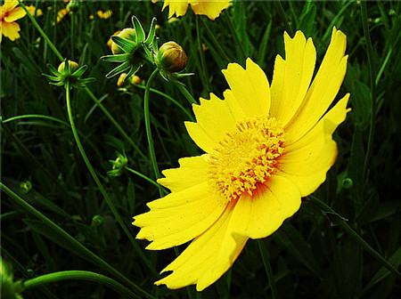 大花金鸡菊常见病害及防治方法
