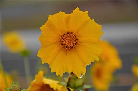 大花金鸡菊的主要价值