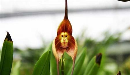 猴面小龙兰常见病害及防治方法
