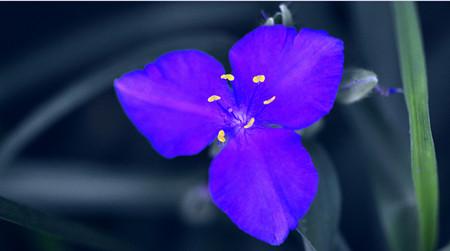 紫露草的观赏价值
