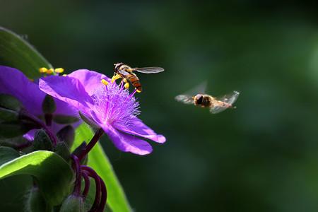 紫露草的园林价值