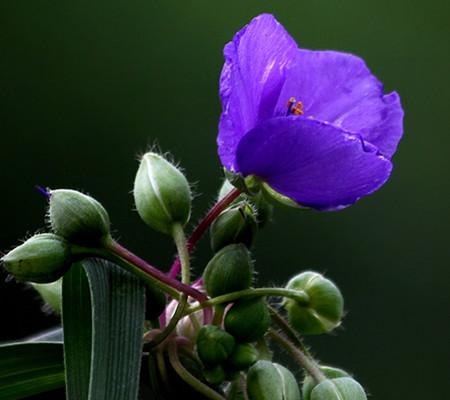 紫露草的药用价值