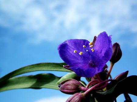 紫露草的故事传说