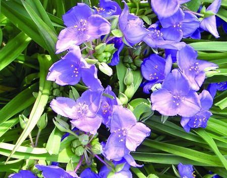 紫露草的扦插方法