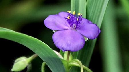 紫露草的扦插后养护