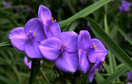 紫露草的春夏养护