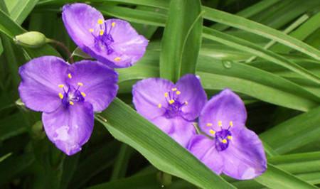 紫露草的秋冬养护