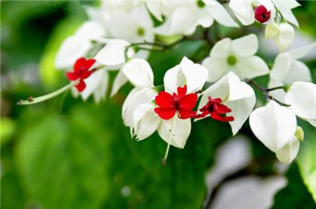 龙吐珠花朵有毒吗