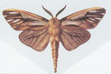 榆叶梅的虫害:蓑蛾
