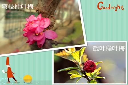 榆叶梅的品种