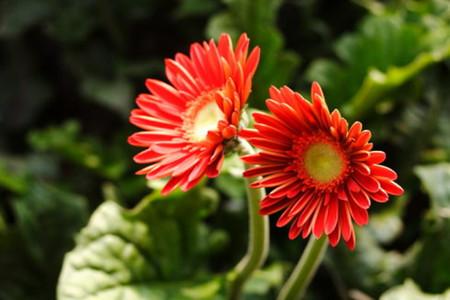 非洲菊的繁殖方法:播种法
