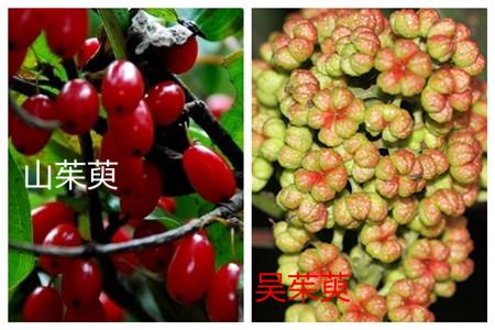 山茱萸和吴茱萸的区别之种属不同
