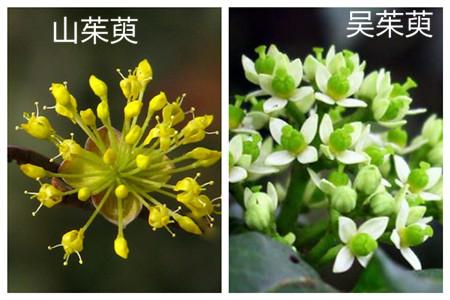 山茱萸和吴茱萸的区别之形态不同