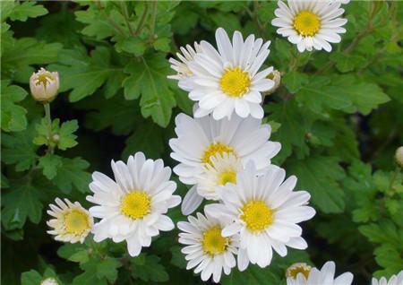 菊花是怎样繁殖的