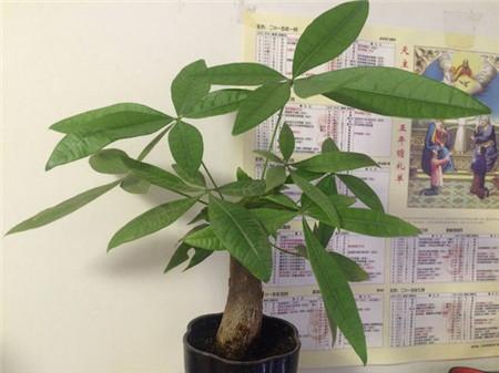 发财树的养殖注意事项