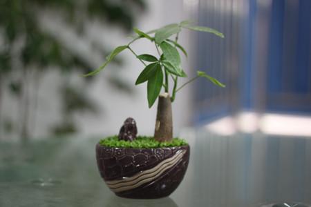 健康的发财树