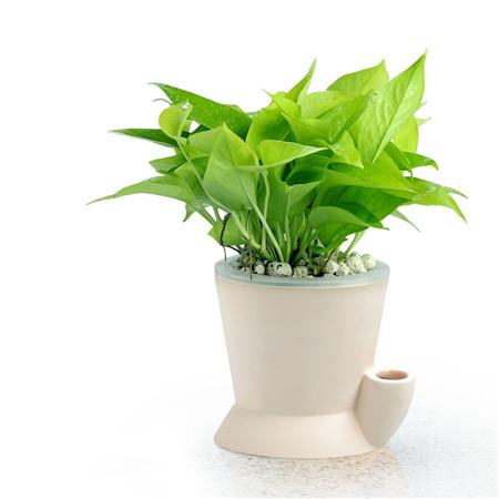 绿萝喷水保健康