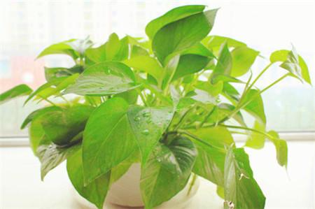 绿萝换盆整根系