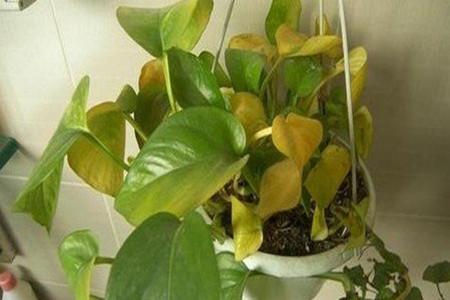 绿萝叶子发黄的原因