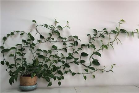 爬墙的绿萝
