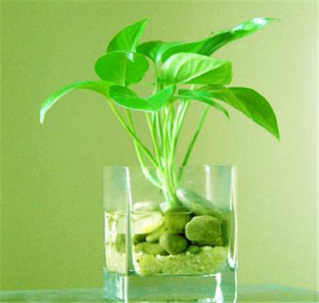 绿萝的养殖方法和注意事项
