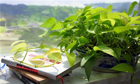 绿萝可以放在卧室吗(www.ijiuai.com)