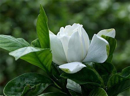 栀子花的花语传说