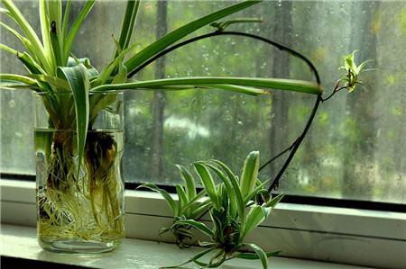 水培吊兰的花茎