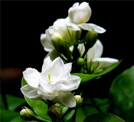 茉莉花的传说以及赠花寓意