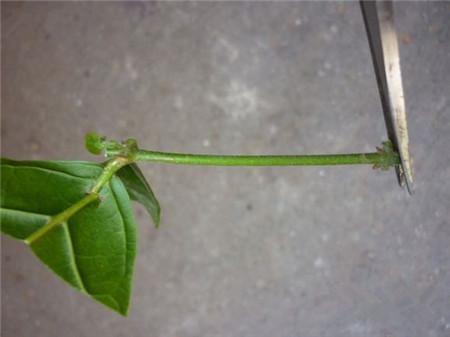 茉莉花扦插插穗的修剪