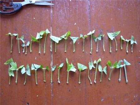 茉莉花扦插插穗的整理