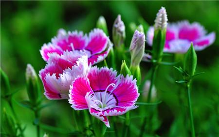 哪些花儿适合室内摆放:石竹
