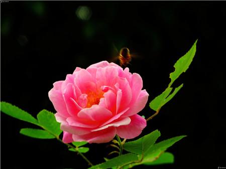 哪些花儿适合室内摆放:蔷薇