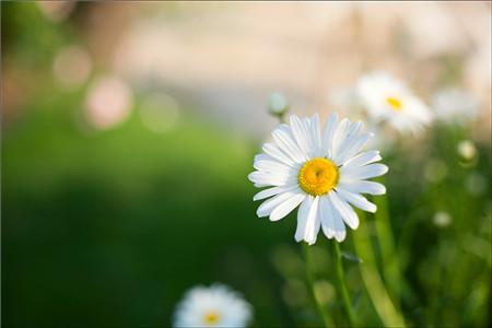 哪些花儿适合室内摆放:雏菊