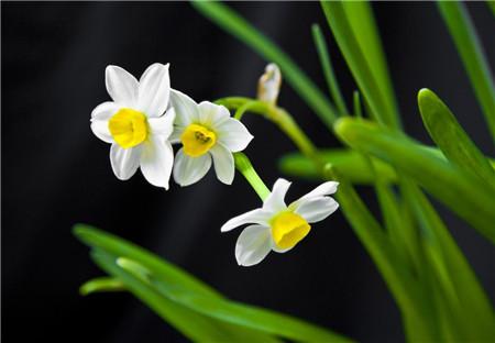 哪些花儿适合室内摆放:水仙