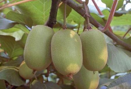 能导致癌症的花卉有哪些:阔叶猕猴桃