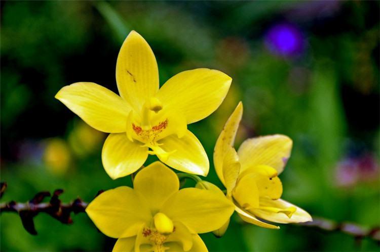 黄色兰花图片