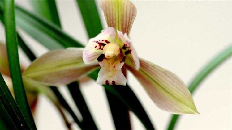 清新兰花图片