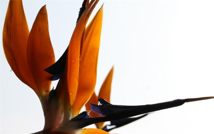 鹤望兰花图片