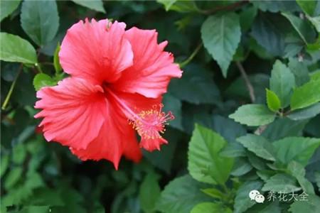 扶桑(朱槿、大红花)