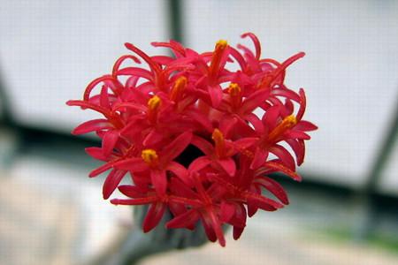 普西利菊花