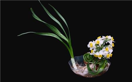 水仙花适时开花方法:准确的养殖时间