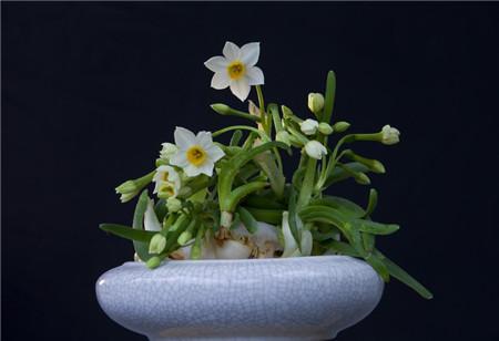 水仙花适时开花方法:适当的光照温度