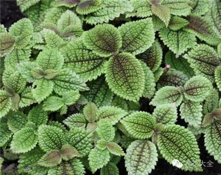 皱叶冷水花图片