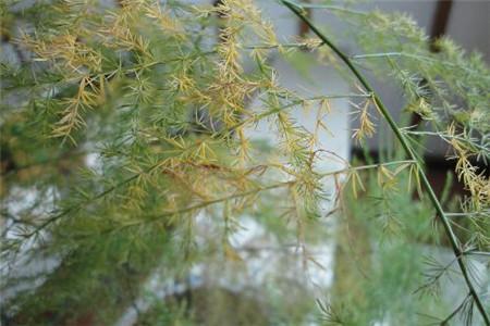 文竹叶子发黄