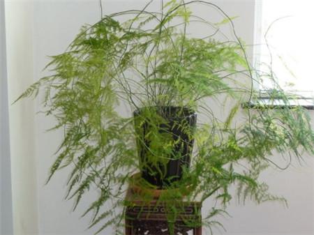 文竹的修剪方法图解